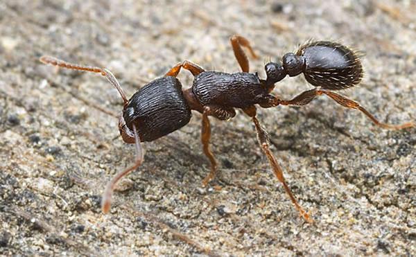 Hormiga de cimiento - Casa de hormigas ...