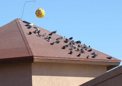 Opciones para el control de palomas for Ahuyentar palomas del balcon