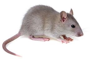 Rat n casero - Raton en casa ...